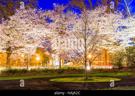 Spring cherry blossoms foliage at night in Athens, GA, USA. - Stock Photo