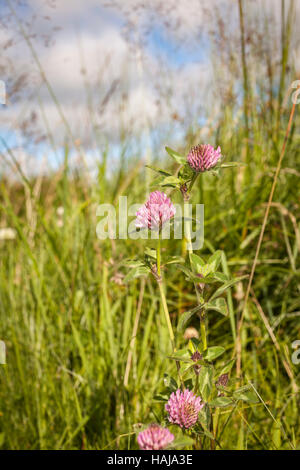 Trifolium pratense or Red Clover in Scotland. - Stock Photo