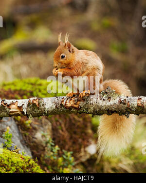 Red squirrel sitting on a dead tree branch eating