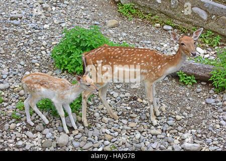 Doe and fawn fallow deer(dama dama) standing in rocky terrain. - Stock Photo