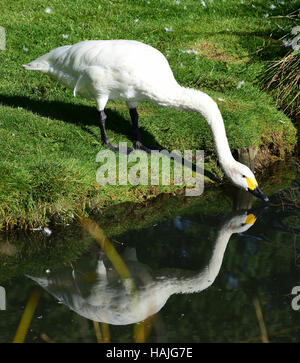 Bewick Swan (Cygnus bewickii) drinking from a pond at WWT London Wetland Centre - Stock Photo