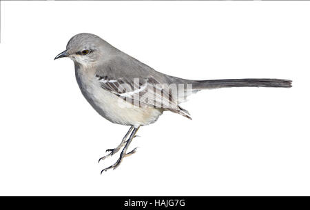 Mockingbird (Mimus polyglottos) Portrait Isolated on a white background. - Stock Photo