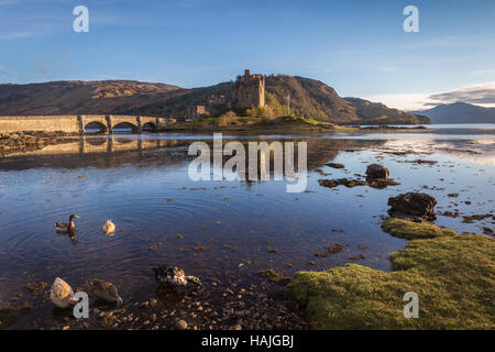 Ducks are foraging during low tide in the water at Eilean Donan Castle in Kyle of Lochalsh, Highlands, Scotland - Stock Photo