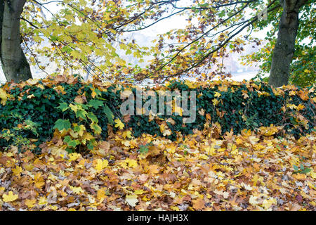 Acer Saccharum. Fallen Sugar Maple tree leaves in autumn over an ivy covered wall. Cotswolds, England - Stock Photo