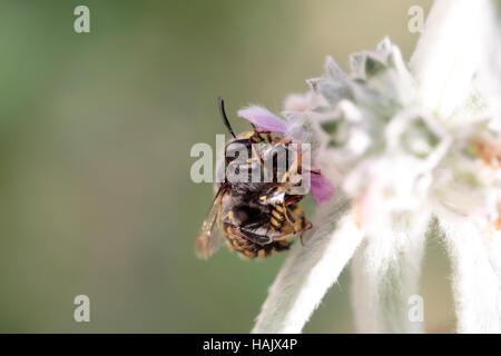 Wool carder bee (Anthidium manicatum) on Stachys byzantina - Stock Photo