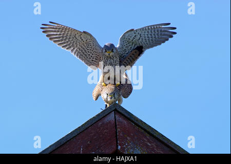 Mating Eurasian Kestrels on top of the roof with a blue sky in the background - Stock Photo