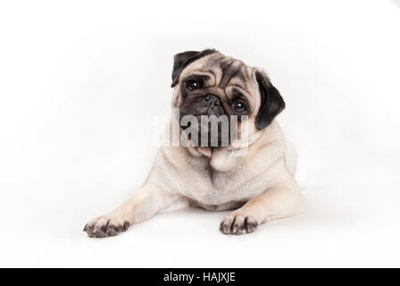 sweet pug puppy dog lying down on floor, looking cheeky - Stock Photo