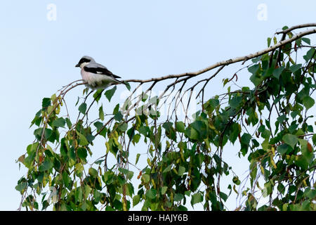 Lesser Grey Shrike (Lanius minor).  Russia, the Ryazan region (Ryazanskaya oblast), the Pronsky District, Denisovo. - Stock Photo