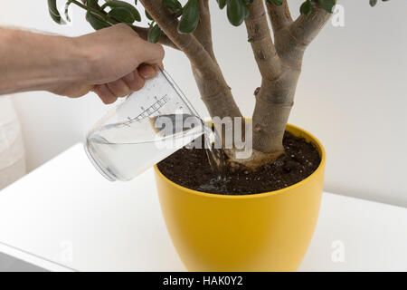 watering indoor plant - Stock Photo