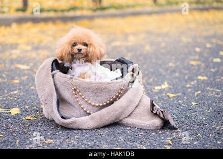 Dog in handbag on the street,Poodle dog sitting on woman handbag and looking camera. - Stock Photo