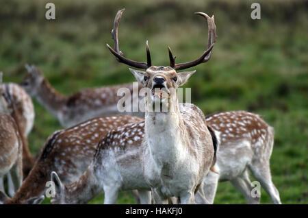 Fallow deer buck eating Uk - Stock Photo