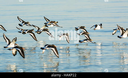 Flock of Oystercatchers (Haematopus ostralegus) flying over the sea in West Sussex, England, UK. Birds in flight. - Stock Photo