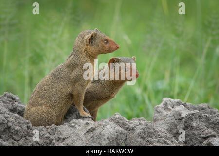Two Dwarf Mongoose on a Termite Mound - Stock Photo