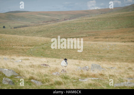 A Scottish Blackface sheep standing alone in a field - Stock Photo