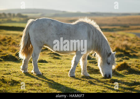 Dartmoor pony in a grassy field - Stock Photo