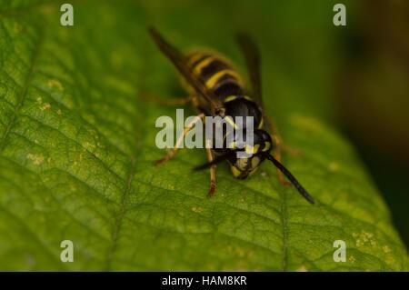A Common Wasp (Vespula vulgaris) on a leaf. - Stock Photo