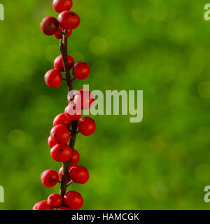 Red berries holly (ilex) isolated on a blue background - Stock Photo