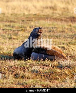 Grey seals (Halichoerus grypus) - Stock Photo