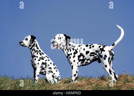 Dalmatian - Stock Photo