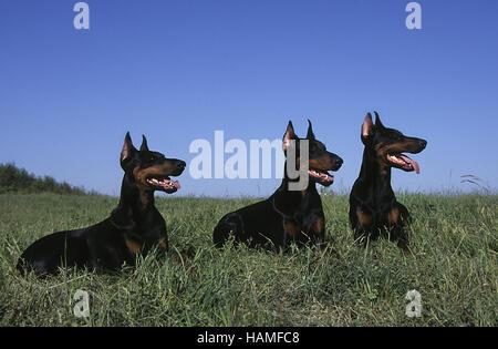 Dobermann Pinscher - Stock Photo
