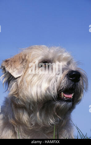 Glen-of-Imaal-Terrier - Stock Photo