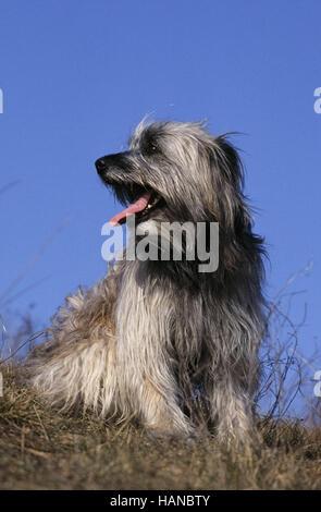 Pyrenean Shepherd - Stock Photo