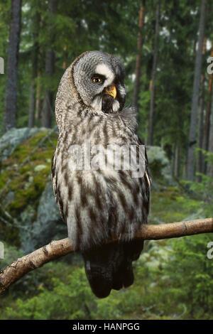 Great Grey Owl / Bartkauz - Stock Photo