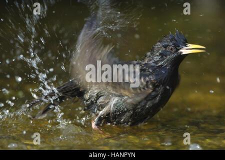 Badender Star Starling taking a bath - Stock Photo