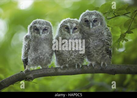 Tawny Owl - Stock Photo