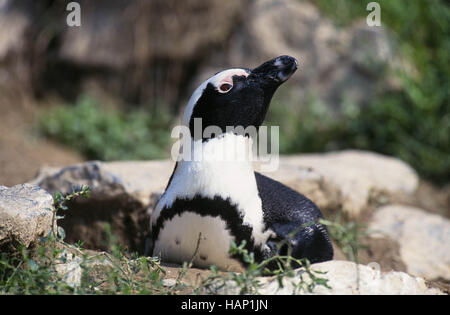 jackass penguin - Stock Photo