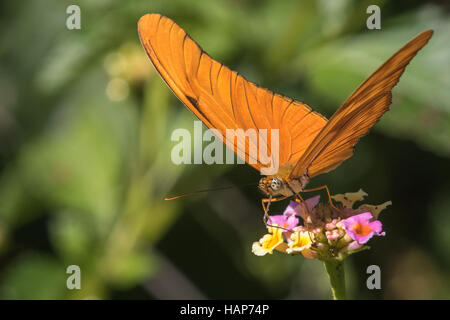 Julia Heliconian, Dryas iulia - Stock Photo