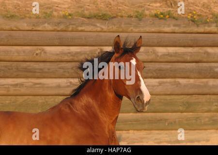 Mecklenburger Horse - Stock Photo