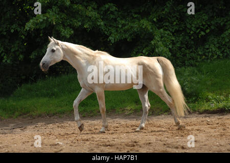 grey Horse - Stock Photo
