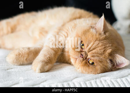Cute fluffy persian cat laying on bed looking into camera