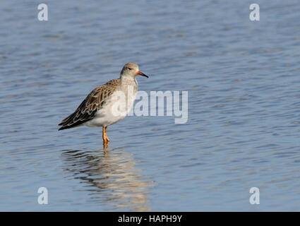 A ruff ( Philomachus pugnax ) standing in the shallow waters of a marsh - Stock Photo