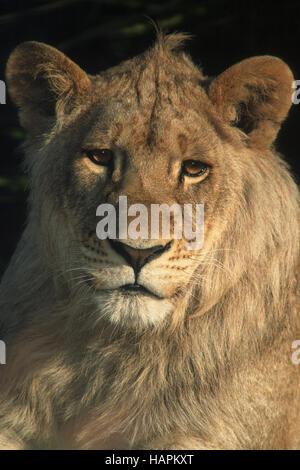 Junger Loewe, Young Lion  (Panthera leo) - Stock Photo