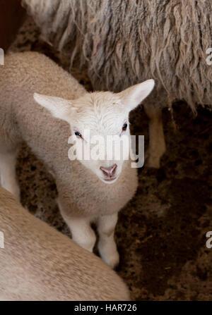 Young lamb looks up at camera - Stock Photo