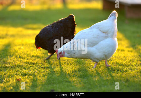 Chickens in a back garden with golden sunlight. - Stock Photo