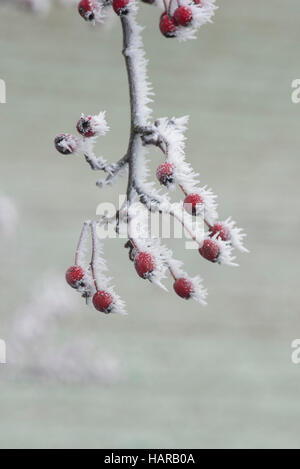 Crataegus monogyna. Hawthorn berries in winter covered in frost. Scotland - Stock Photo