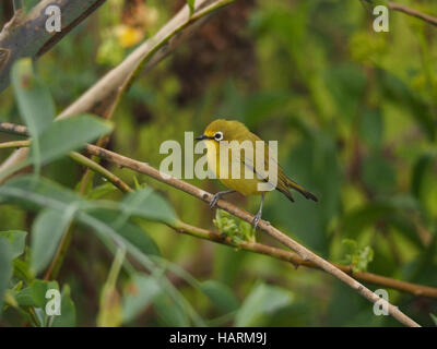 Yellow White-eye (Zosterops senegalensis) with white cere perched on bare branch at Lake Naivasha Rift Valley Kenya - Stock Photo
