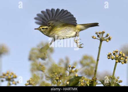 Yellow-browed Warbler - Phylloscopus inornatus - Stock Photo