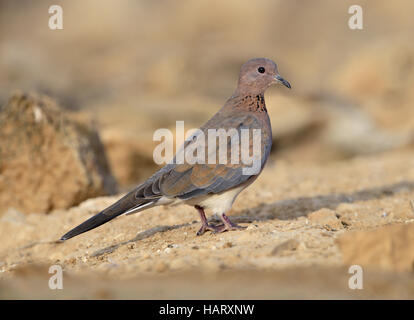 Laughing Dove - Streptopelia senegalensis - Stock Photo