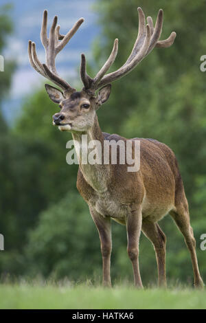 Rothirsch, (Cervus elaphus), red deer - Stock Photo
