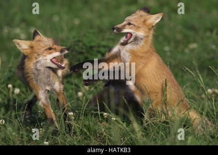 Rotfuchs, (Vulpes vulpes), red fox - Stock Photo