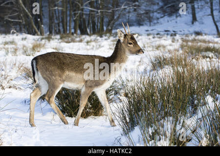 Damhirsch, Cervus dama, fallow deer - Stock Photo