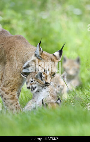 Luchs-(Lynx-Iynx)11.jpg - Stock Photo