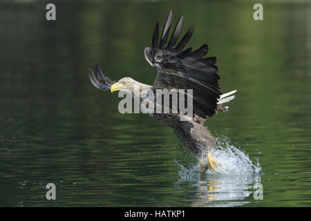 Seeadler (Haliaeetus albicilla)2.jpg - Stock Photo