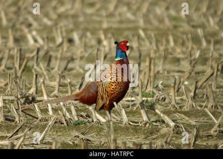 common pheasant - Phasianus colchicus - Stock Photo