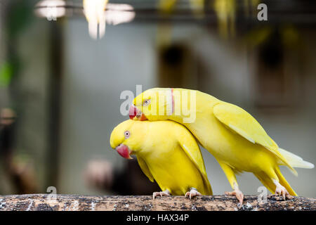 Portrait of couple rose ring parakeet bird standing at branch - Stock Photo