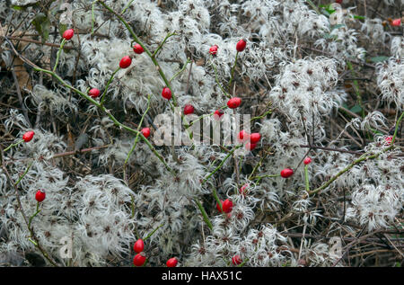 Oldman's Beard Clematis vitalba seed-heads and Wild rose hips in winter hedgerow - Stock Photo